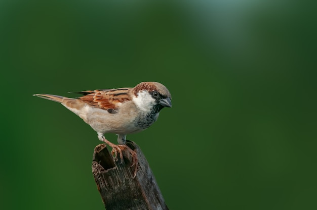 A male house sparrow against a green