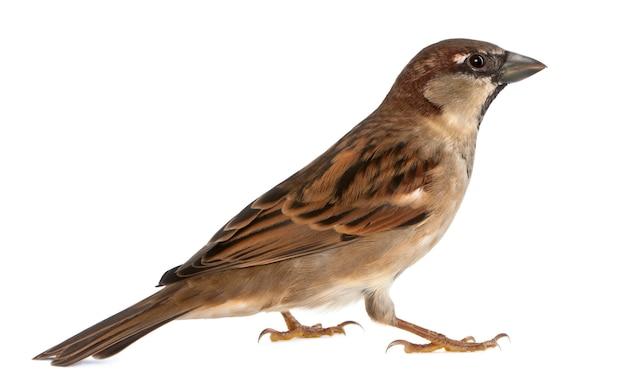 Самец домашний воробей - passer domesticus (5 месяцев)