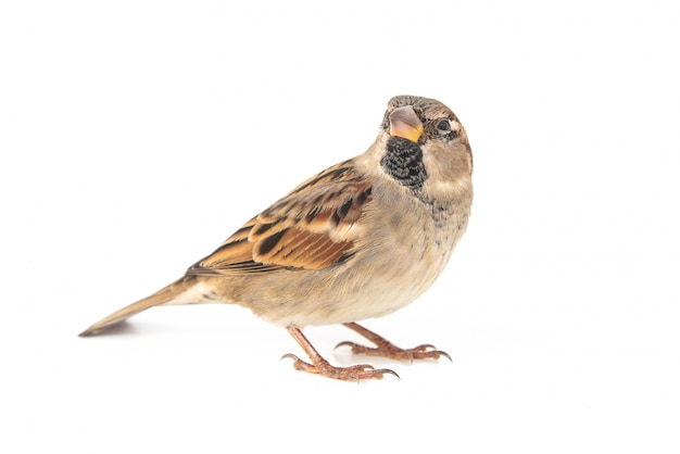 Male house sparrow (passer domesticus) isolated on a white background