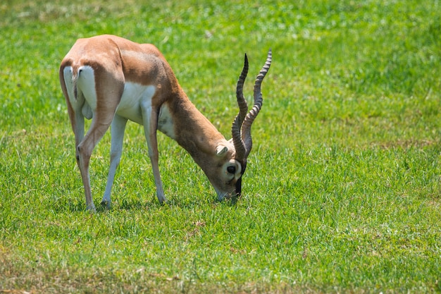 Male impala grazing in the meadow