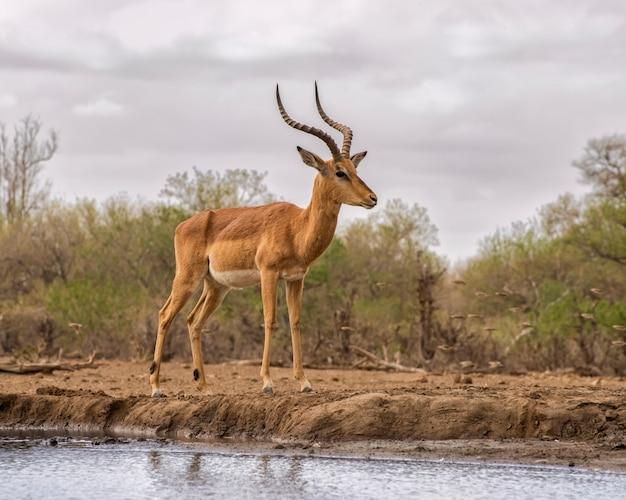Самец импалы стоит на берегу