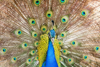 Male Indian Peafowl