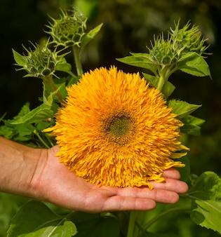 Male left hand holding a sunflower flower