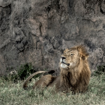 Самец льва отдыхает в национальном парке серенгети