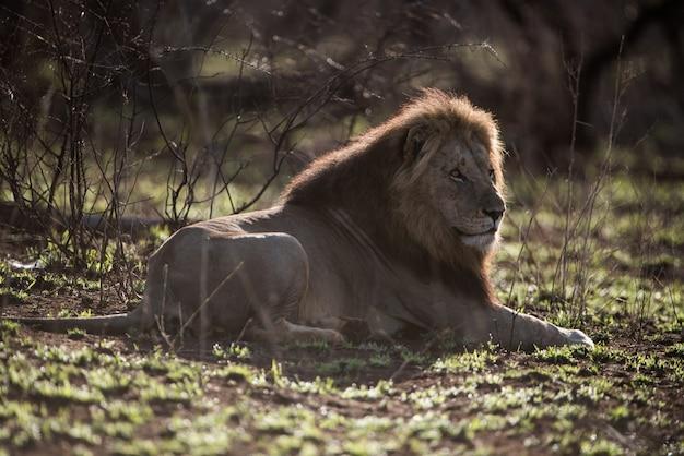 Самец лев отдыхает на земле