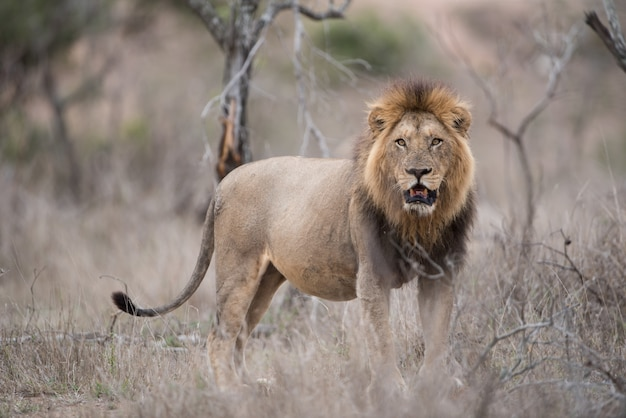 Male lion standing on the bush field