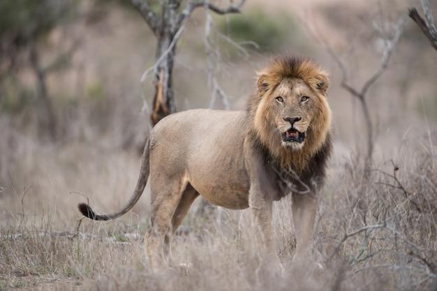 雄ライオンがブッシュフィールドに立っています。