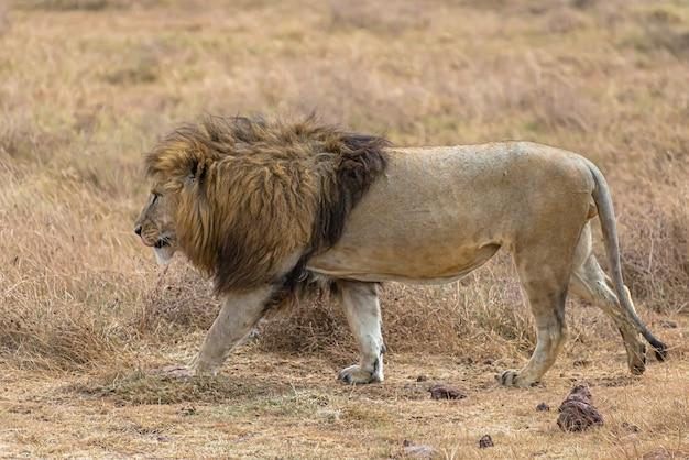 昼間に乾いた芝生のフィールドを歩く雄ライオン