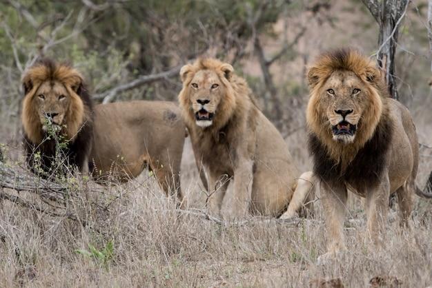 Самцы львов в поле кустарников с размытым фоном