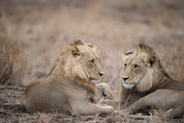 Male lions resting on the ground