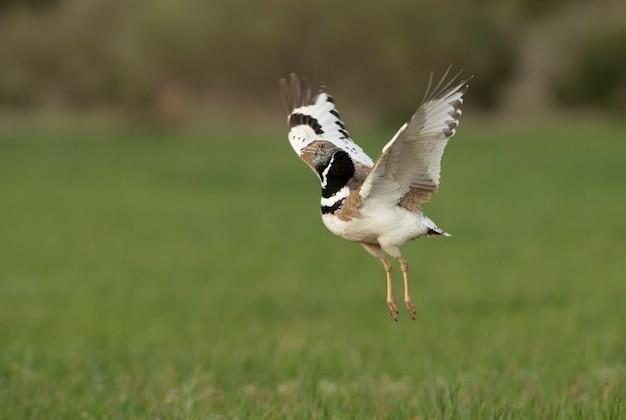 Самец маленькая дрофа прыгает на природе