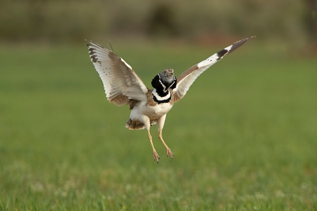 Male little bustard jumping in the nature