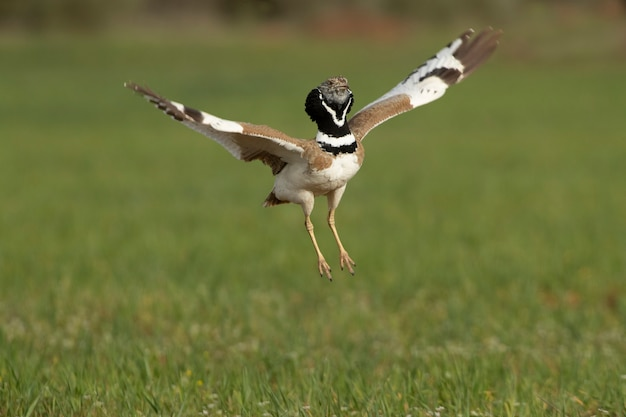 Male little bustard performing the jumps of his nuptial procession with the first light of day in his breeding ground in spring