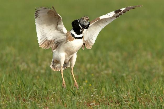 Самец маленькая дрофа ухаживает за теплом, надувая перья на шее и прыгая на своей территории размножения с первыми лучами рассвета.