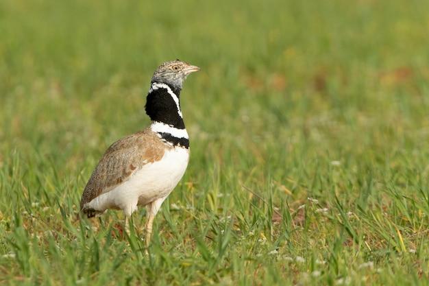 Самец маленькая дрофа ухаживает за теплом, надувая перья на шее и поет на своей территории размножения при первых лучах рассвета.