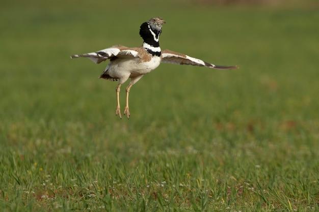 春に彼の繁殖地で日の最初の光で彼の結婚式の行列のジャンプを実行する男性のヒメノガン