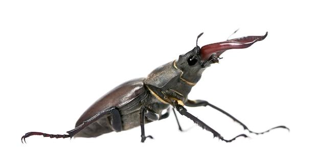 Male европейский жук-олень - lucanus cervus - самый известный вид жука-оленя, семейство lucanidae