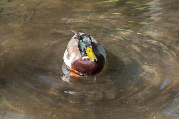 Male mallard duck swimming in a clear water pond while looking for food