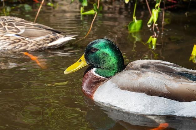 Самец кряквы плавает в пруду с чистой водой в поисках еды
