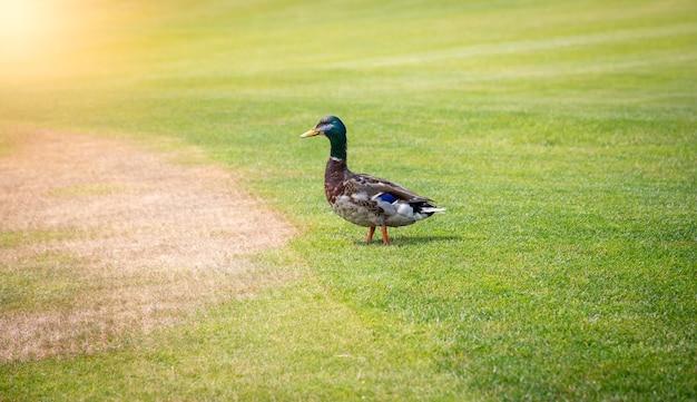 화창한 날에 신선한 녹색 잔디에 걷는 남성 청둥 오리 오리
