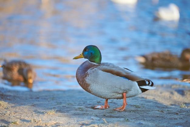 池や川に手を出す男性のマガモ水鳥。
