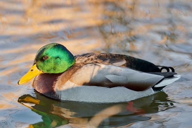 Птица водоплавающих птиц мужского пола кряквы балуется в пруду или реке