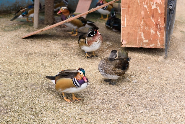 Male mandarin duck (aix galericulata) standing