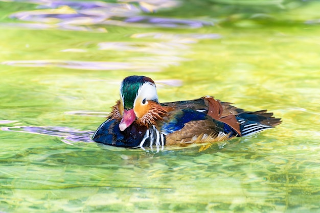 Male mandarin duck or aix galericulata, wild duck was introduced as a pet is a colorful floating on the surface of the clear water happily