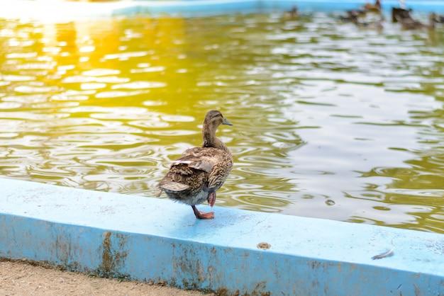 Male mandarin duck (aix galericulata)