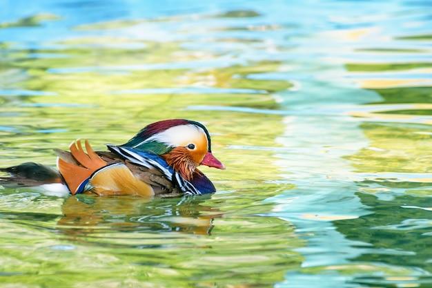 Самец утки-мандаринки или aix galericulata, дикая утка был представлен как домашнее животное - красочно плывущее по поверхности чистой воды.