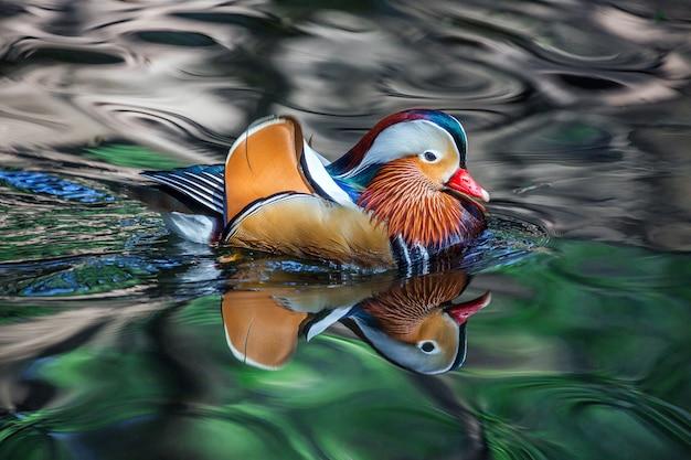 男性のオシドリは美しいパターンで水の中を泳いでいます。