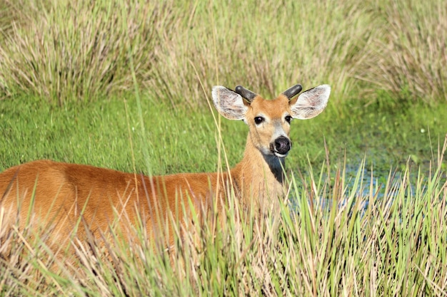 Male marsh deer in tall grass