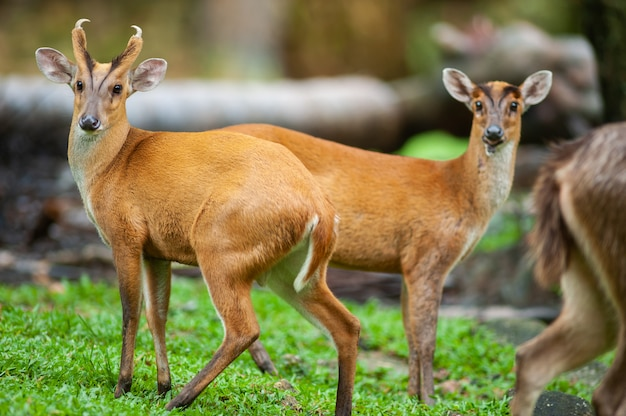 Male muntjacs, also known as barking deer and mastreani deer