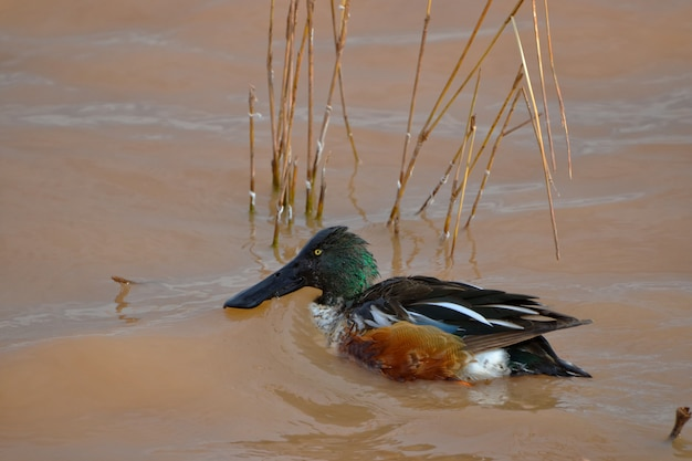 Male northern shoveler swimming in a pond and looking for food