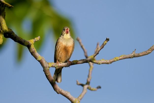 깃털을 사육하는 남성 ortolan (emberiza hortulana), 근접 촬영, 나뭇 가지에 앉아있다.