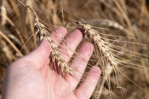 男性の手のひらと麦畑の小穂黄金の小麦の穂がクローズアップ。