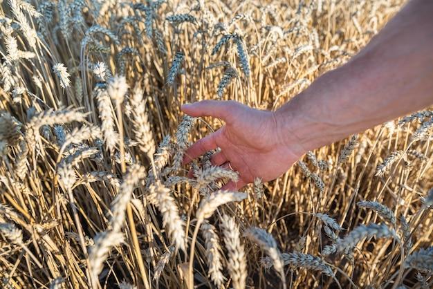 Мужская ладонь с золотыми колосьями пшеницы заделывают. концепция сбора урожая