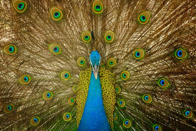 Male peacock expand feathers close up