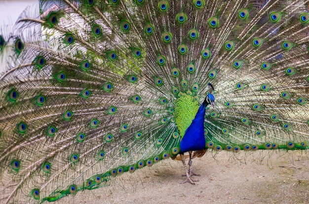 Павлин-самец распускает свои красивые и привлекательные перья. концепция природы или зоопарка