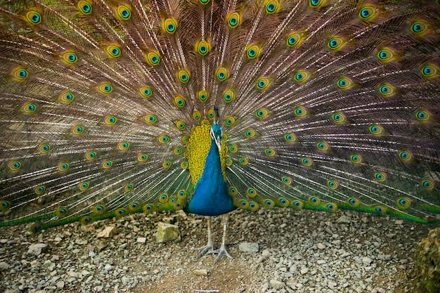 美しい交尾羽を持つ雄の孔雀