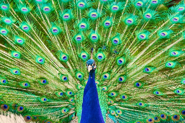 A male peacock with long green tail feathers in the garden