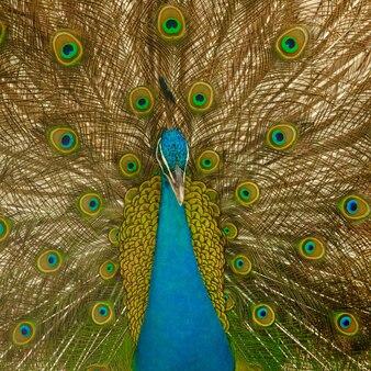 男性peacokが羽を拡大します。