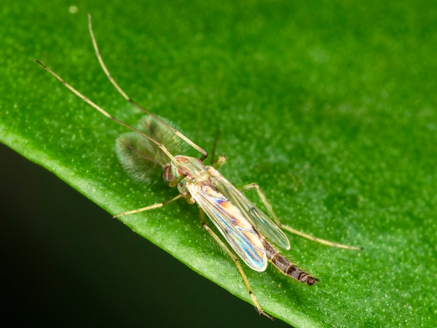 Male photograph of a male mosquito.