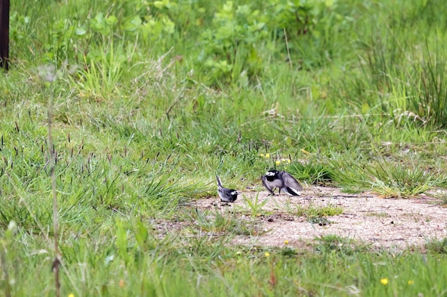 Male pied wagtail (motacilla alba) displaying to female