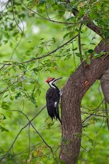 木の側面にしがみついている男性のエボシクマゲラ。