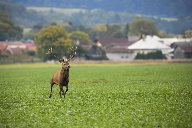 Самец благородного оленя убегает от домов на поле с зелеными листьями