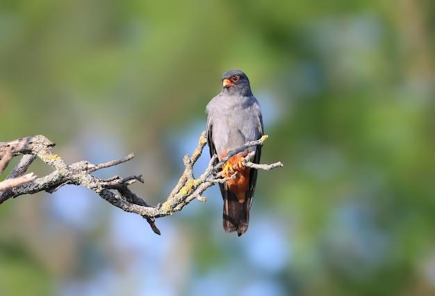 ニシアカアシバヤブサ(falco vespertinus)が枝に座っています。