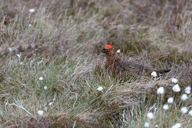 Male red grouse (lagopus lagopus)