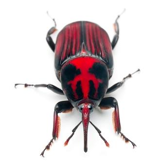 Самец красного пальмового долгоносика, азиатский пальмовый долгоносик или долгоносик саговой пальмы - rhynchophorus ferrugineus
