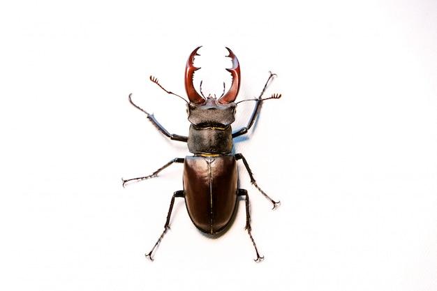 Кобель красновато-коричневый жук-олень. lucanus capreolus.